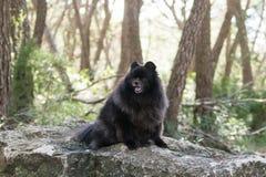 Black pomeranian spitz outdoors. Black fluffy cute pomeranian spitz royalty free stock images