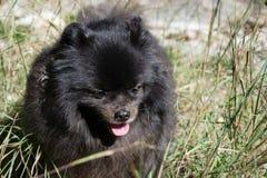 Black pomeranian spitz outdoors. Black fluffy cute pomeranian spitz royalty free stock photo