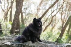 Black pomeranian spitz outdoors. Black fluffy cute pomeranian spitz outdoors royalty free stock photo