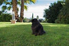 Black pomeranian spitz outdoors. Black fluffy cute pomeranian spitz outdoors stock photography