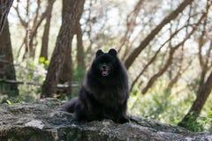 Black pomeranian spitz outdoors. Black fluffy cute pomeranian spitz outdoors stock photo
