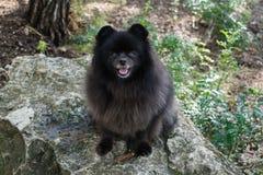 Black pomeranian spitz outdoors. Black fluffy cute pomeranian spitz outdoors royalty free stock photos