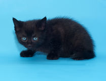 Black fluffy frightened kitten on blue Stock Image