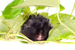 Black fluffy hamster with green leaves Stock Photo