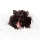 Black fluffy hamster portrait Royalty Free Stock Photography