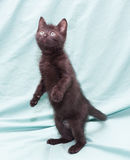 Black fluffy kitten with green eyes standing on his hind legs Stock Photos