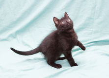 Black fluffy kitten with green eyes standing, lifting foot Stock Images