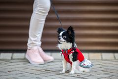A black fluffy white, long-haired funny dog with emale sex with larger eyes the Chihuahua breed, dressed in red knitted dress. The. Animal sits near feet of royalty free stock photography