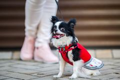 A black fluffy white, long-haired funny dog with emale sex with larger eyes the Chihuahua breed, dressed in red knitted dress. The. Animal sits near feet of royalty free stock image