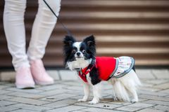 A black fluffy white, longhaired funny dog female sex with larger eyes, Chihuahua breed, dressed in red dress. animal stands at fu. Ll height near feet of owner royalty free stock photography