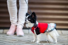 A black fluffy white, longhaired funny dog female sex with larger eyes, Chihuahua breed, dressed in red dress. animal stands at fu. Ll height near feet of owner stock images