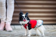 A black fluffy white, longhaired funny dog female sex with larger eyes, Chihuahua breed, dressed in red dress. animal stands at fu. Ll height near feet of owner royalty free stock image