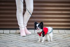 A black fluffy white, longhaired funny dog female sex with larger eyes, Chihuahua breed, dressed in red dress. animal stands at fu. Ll height near feet of owner stock photos