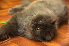 Black fluffy young cat. Looks Stock Photography