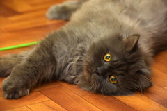 Black fluffy young cat. Looks Royalty Free Stock Photos