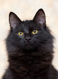 Black fluffy young cat Stock Photos