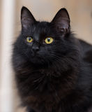 Black fluffy young cat Royalty Free Stock Images
