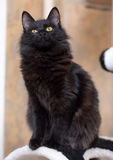 Black fluffy young cat Stock Photography