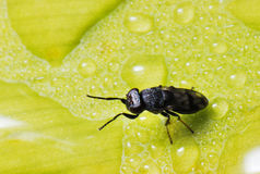 Black Fly Royalty Free Stock Photos