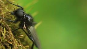 Black fly Bibio marci. Macro stock video