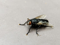 Black Fly. A close-up view of a resting black fly Stock Images