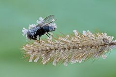 Black fly is covered in frost. Unexpected spring frost. Closeup royalty free stock images