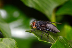 Black fly  on foliage Royalty Free Stock Photo
