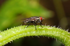 Black fly Royalty Free Stock Photo