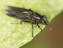 Black fly on a green leaf. close-up.  Stock Photo
