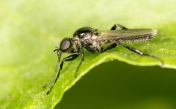 Black fly on a green leaf. close-up.  Stock Photos
