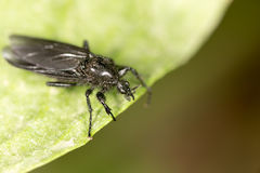 Black fly on a green leaf. Close-up Royalty Free Stock Photography