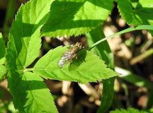 One fly on green leaf, Lithuania. Black fly on green leaf in spring Royalty Free Stock Images
