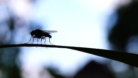 Black fly Stock Photos