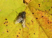 Black fly on leaf. Black fly on yellow leaf, Lithuania Royalty Free Stock Photography