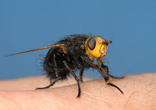 Black fly on my finger Stock Photo