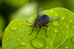 Black Fly over a Green Leaf with Water Drops. Macro of Fly above a Green Leaf, with Water Drops Stock Photos