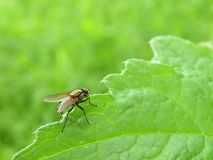 One fly on green leaf, Lithuania Royalty Free Stock Photos
