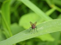One fly on green leaf, Lithuania Royalty Free Stock Photography