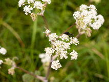 A black fly resting on some cow parsley Stock Photography