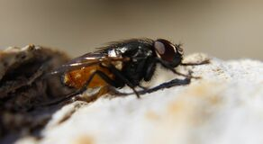 Black Fly on Rock in Macro Photography during Daytime Royalty Free Stock Photos
