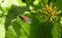 Black fly Royalty Free Stock Images