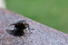 Black fly sits close up, macro photo. Black fly sits on greenery background close up, macro photo, with copy space royalty free stock photography