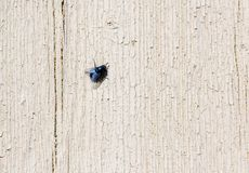 Big black fly on a textured wooden wall. Black fly sits on a painted rough wooden wall with cracks royalty free stock image