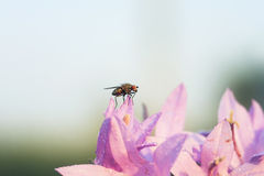 Black fly sitting on the colors pink bells Royalty Free Stock Photos