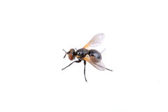 Black fly on a white background Stock Image