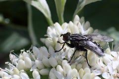 A black fly on the white flower macro photo Stock Photos