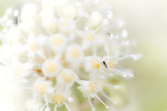 Black fly on white flowers Stock Photography