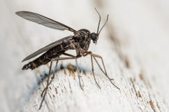 Black Fly. On a White Piece of Wood Royalty Free Stock Photos