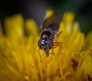 Black Fly on Yellow Petaled Flower stock photography
