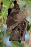 Black flying-fox Stock Image